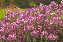 Pink blooming flowers in a garden royalty free stock photos