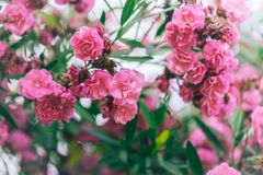 Close up booming pink oleander nerium. Pink blooming flowers in summer, Spain. beautiful oleander background wallpaper Royalty Free Stock Images