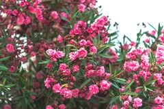Close up booming pink oleander nerium. Pink blooming flowers in summer, Spain. beautiful oleander background wallpaper Royalty Free Stock Photo