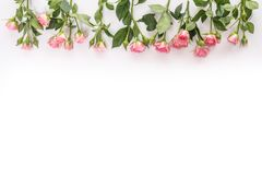 Pink blooming fresh roses from up borders on white background