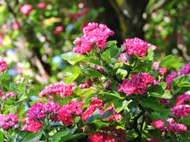 Pink blooming hawthorn in summer, Lithuania Stock Photography