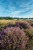 Pink blooming heath in a nature reserve in the Netherlands Royalty Free Stock Photos