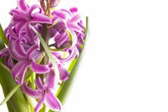 Pink blooming hyacinth Royalty Free Stock Photography