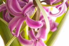 Pink blooming hyacinth Stock Photography
