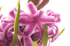 Pink blooming hyacinth Stock Photo