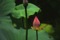 Pink blooming lotus with Lotus bud Royalty Free Stock Image