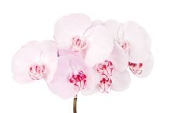 Pink blooming orchid Royalty Free Stock Images
