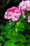 Pink blooming pelargonium. In the garden grow pink flowering pelargoniums Stock Images