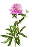 Pink blooming peony Royalty Free Stock Photography