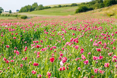 Pink blooming poppy, huge field of blossoming flowers Stock Photos