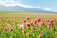 Pink blooming poppy, huge field of blossoming flowers Stock Photo