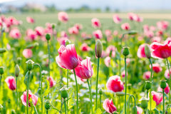 Pink blooming poppy, huge field of blossoming flowers Royalty Free Stock Photos