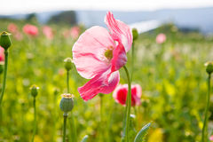 Pink blooming poppy, huge field of blossoming flowers Royalty Free Stock Photo