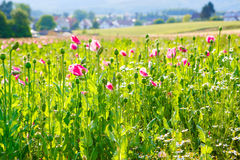 Pink blooming poppy, huge field of blossoming flowers Royalty Free Stock Photography