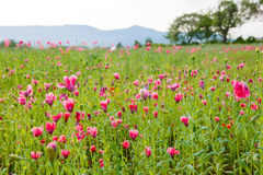 Pink blooming poppy, huge field of blossoming flowers Stock Images