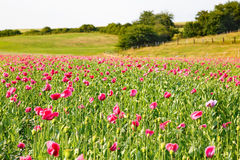 Pink blooming poppy, huge field of blossoming flowers Royalty Free Stock Image