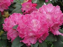 Pink blooming Rhododendron Azalea stock photography