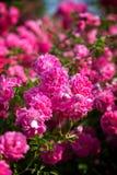 Pink blooming rose bush Royalty Free Stock Image