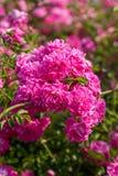 Pink blooming rose bush Stock Photos
