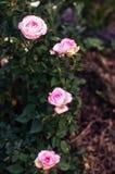 Pink blooming rose bush Stock Photography