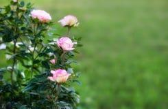Pink blooming rose bush grow in garden Stock Photos