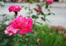 Pink blooming rose grows in the city garden stock photos