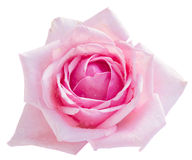 Pink blooming rose Royalty Free Stock Image