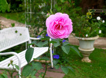 Pink blooming rose at the relaxing corner of the backyard Stock Photos