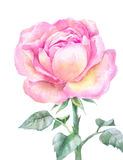 Pink blooming rose in watercolor  on a white background. Stock Photos