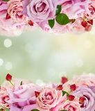 Pink blooming roses royalty free stock photo