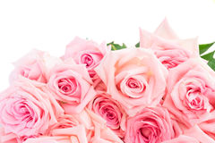 Pink blooming roses Stock Photography