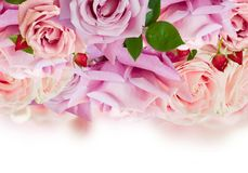 Pink blooming roses royalty free stock photos