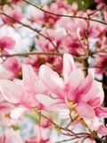 Pink blooming saucer magnolia tree Stock Photography