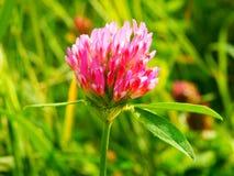 Pink blooming shamrock Stock Image