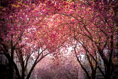 Pink blooming tree avenue royalty free stock photography