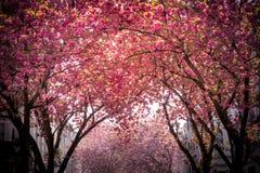 Pink blooming tree avenue. Beautiful pink blooming tree Avenue, Heerstrasse in Bonn, Germany royalty free stock photography