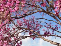 Pink Blooming Tree Branches Royalty Free Stock Photos