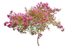 Pink blooming tree isolated on white Stock Image