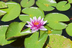 Pink blooming waterlily in garden lake Stock Image