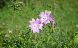 Pink blooming wild mallow. A pink blooming wild mallow in summer on a meadow Royalty Free Stock Images