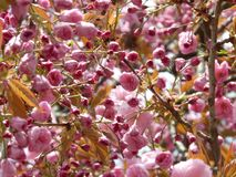 Pink blooms on branches Stock Photos