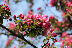 Pink blooms of cherry tree. Twigs of a cherry tree with beautiful pink blooms Stock Image