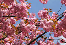 Pink blooms of cherry tree. Twigs of a cherry tree with beautiful pink blooms and blue sky Stock Photos