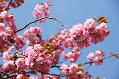 Pink blooms of cherry tree. Twigs of a cherry tree with beautiful pink blooms and blue sky Stock Images