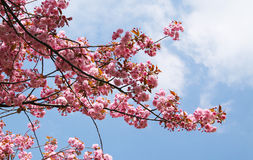 Pink blooms of cherry tree. Twigs of a cherry tree with beautiful pink blooms and blue sky with soft clouds Stock Images