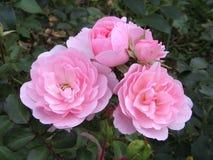 Pink blooms. Light pink blooms of rose Stock Image