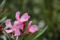Nerium oleander Stock Photography
