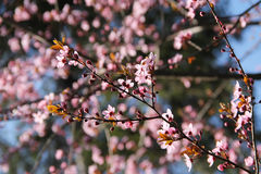 Pink blooms. Twigs of a cherry tree with beautiful pink blooms Royalty Free Stock Photography