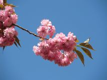 Pink blooms. Twigs of a cherry tree with beautiful pink blooms and blue sky Royalty Free Stock Photography