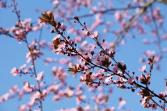 Pink blooms. Twigs of a cherry tree with beautiful pink blooms and blue sky Stock Photos